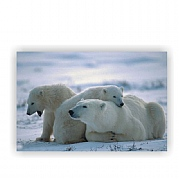 Three Polar Bears on Canvas Print