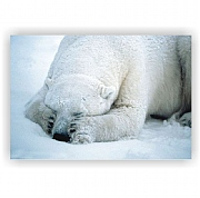 Sleeping Polar Bear Canvas Print